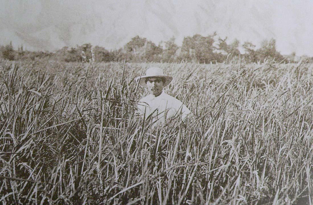 sugar cane Peru